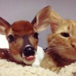 Cat helps orphaned fawn to recover